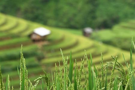 Terraced rice field in Mu Cang Chai, Vietnam photo