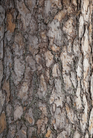cortical: Pine tree bark background. Old tree trunk detail texture as natural background.