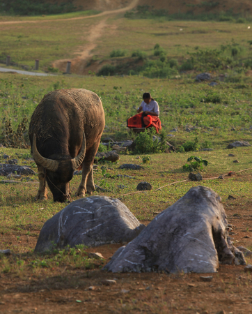 non la: Life in Asia, concept of traveling in Asia, background with a water buffalo and young woman sewing under the light of sunset on grass hill.