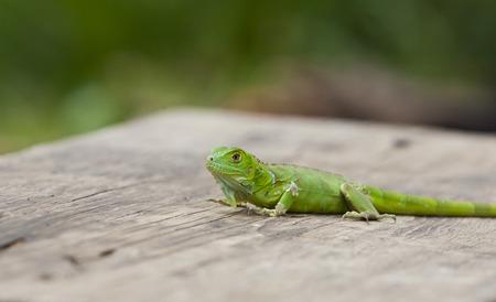 Close up of a green plumed basilisk on wood