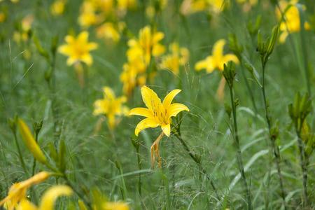 lemony: Beautiful yellow lily flower under the sunlight Stock Photo