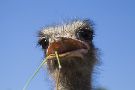 Portrait of an ostrich in sunny day, close up on head, ostrich eating Stock Photo