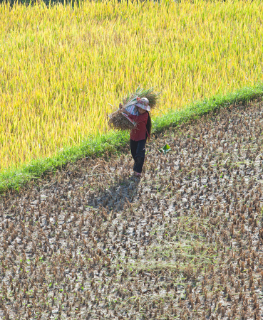 highlands region: Unidentified Asian farmer with conical hat harvesting rice on yellow paddy field under the sunlight of autumn.