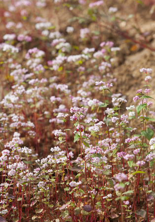 Save Download Preview Close up of purple buckwheat (Tam Giac Mach in Vietnamese) flower in Ha Giang province, far north of Vietnam.