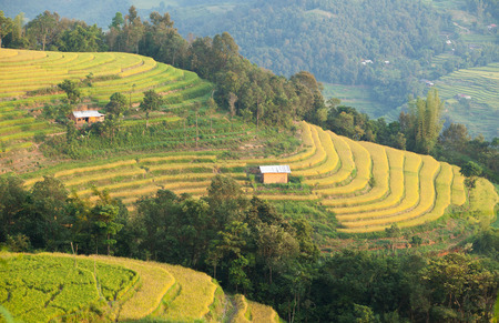 Typical image of an Asian village landscape in a rural area with paddy field in time of harvest under the yellow sunlight of autumn.