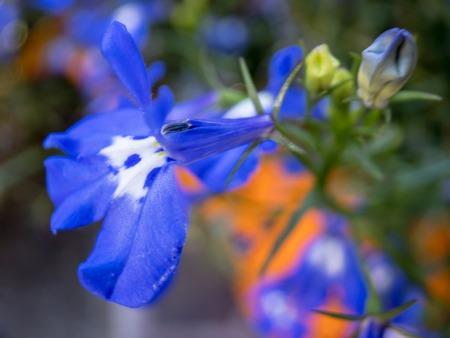 Macro shot of blue flower blooming in summer sun