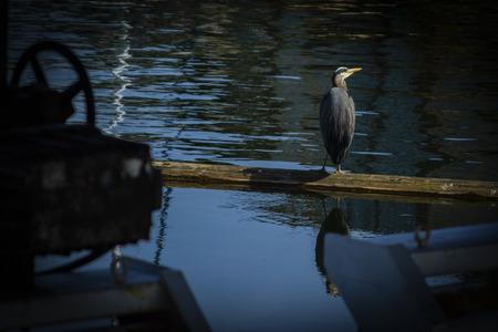 Blue heron sitting on a log in the Ballard Locks
