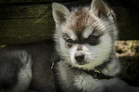 Adorable husky puppy 写真素材