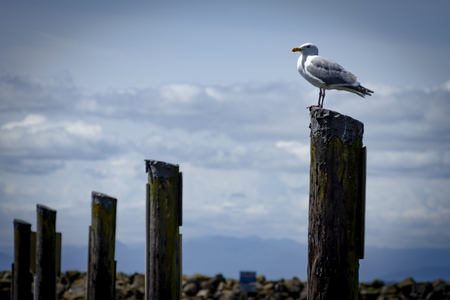 Seagull sitting on a piling in the sunny Seattle summer 写真素材