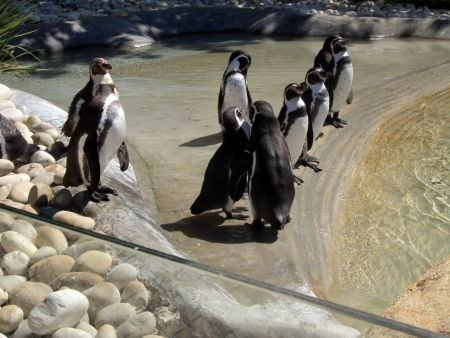 Penguins in controled habitat at the zoo photo