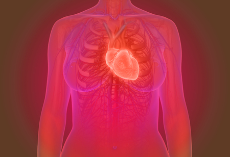 female human heart anatomy