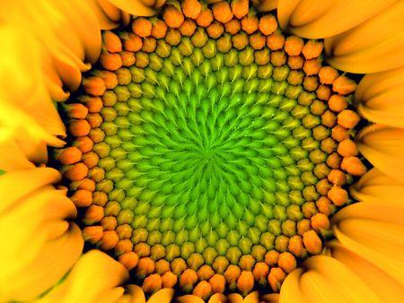 one sunflower Stock Photo