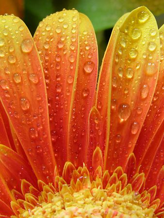 droplets on gerbera Stock Photo
