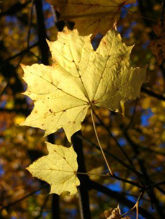 autumn  leaf tree