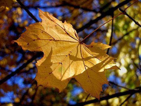gold autumn leaves on brnach