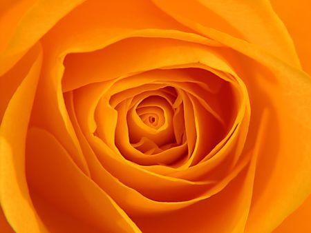 Inside Orange Rose