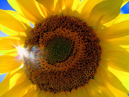colourful sunflower