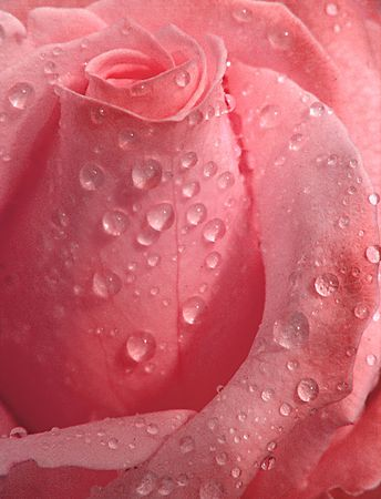 Pink Rose with droplets Stock Photo
