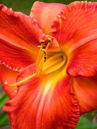 flower red yellow azalea, pollen