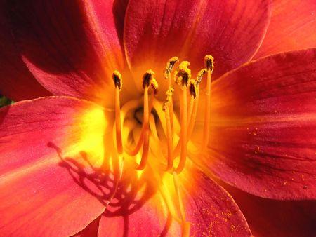 flower purplish red, yellow azalea, pollen