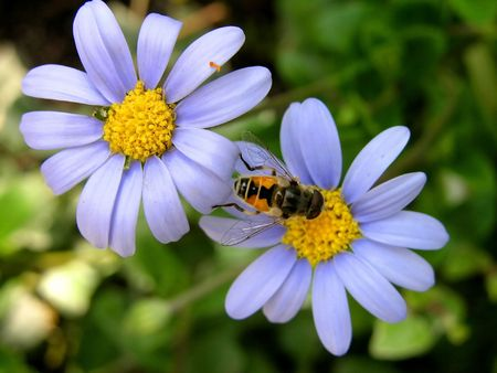 two blue flowers, yellow center, bee, wing,