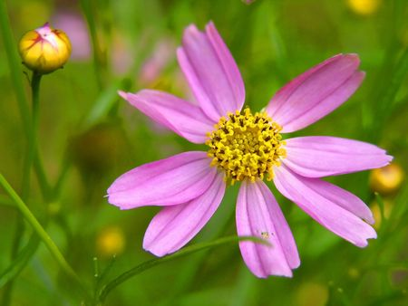 purplish red flower, purple and yellow