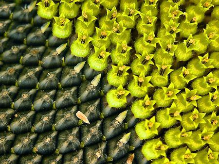 Sunflower grain, green, yellow