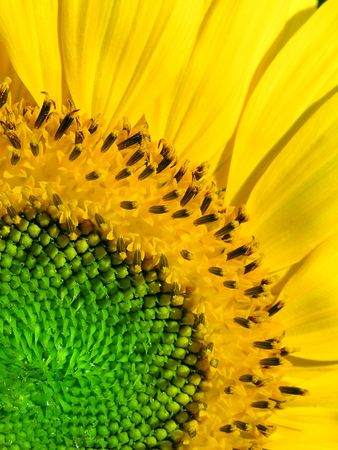One Sunflower, green, yellow Stock Photo - 382761