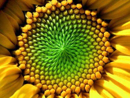 One Sunflower green and yellow Stock Photo - 382762
