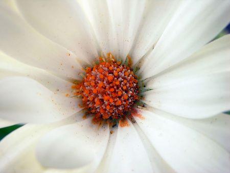 white flower, red centre Stock Photo