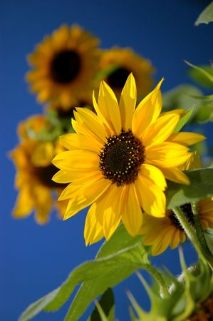 One Sunflower on the blue sky Stock Photo