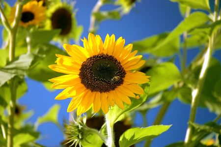 Bee on sunflower, blue sky