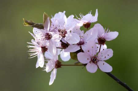 spring, blossom on branch and green background