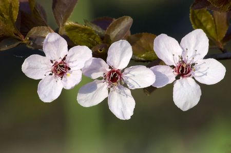three spring blossom on branch and green background