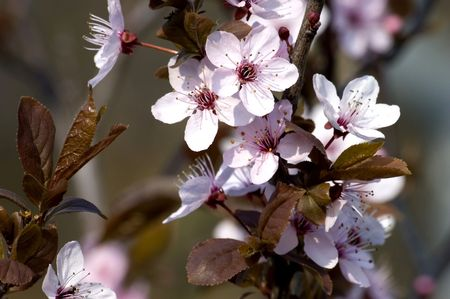 spring, blossom on dark background