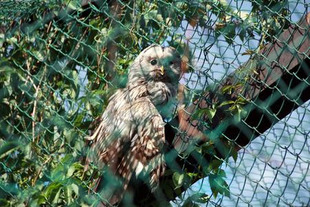 ural owl: Strix uralensis, Ural owl in cage