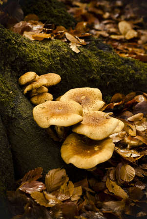 rotting: blewits on rotting trunk