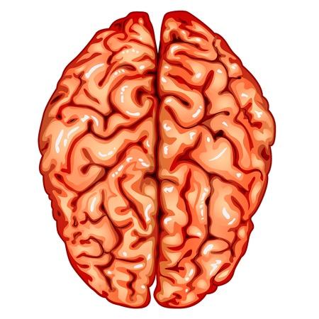 anatomy brain: Vista superiore cervello umano