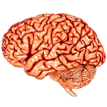 Human brain lateral view Vector