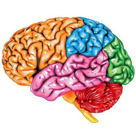 anatomy brain: Vista laterale del cervello umano
