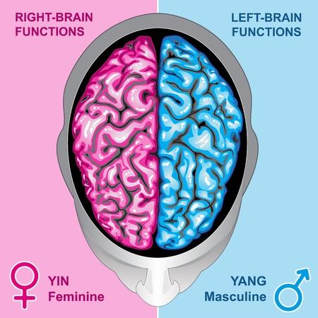 thalamus: Funciones de izquierda y derecha del cerebro humanos Vectores