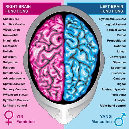 nerveux: Fonctions de gauche et de droits du cerveau humain