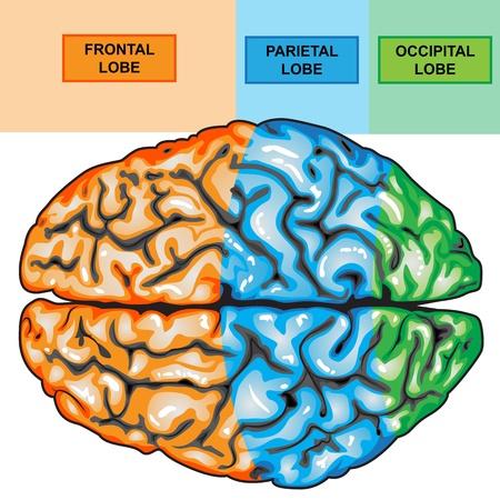 sistema nervioso central: Vista superior de cerebro humano