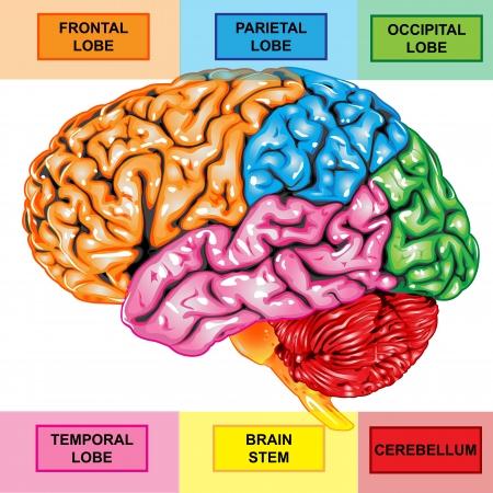 인간의 두뇌 측면보기