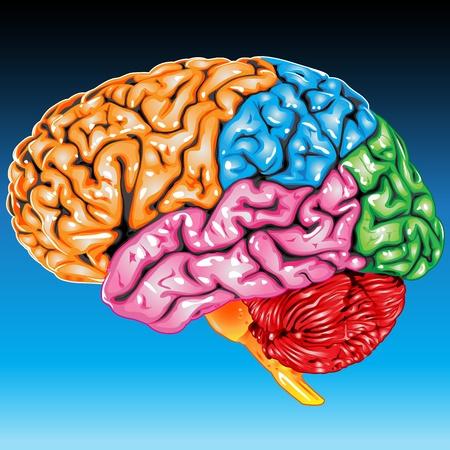Menschliches Gehirn Seitenansicht Standard-Bild