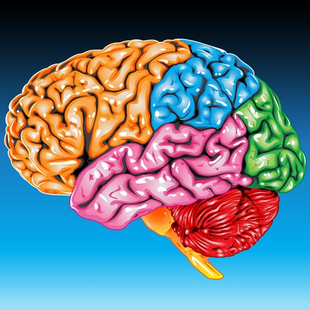 Vue latérale de cerveau humain  Banque d'images