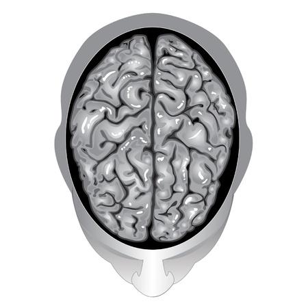 인간의 두뇌 상위 뷰