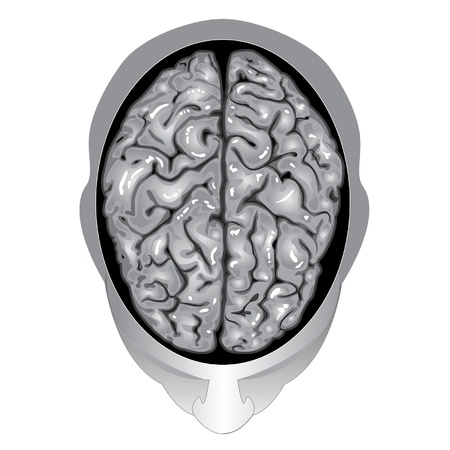 Human brain top view Stock Vector - 9806987