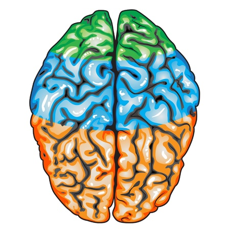 talamo: Vista superior del cerebro humano