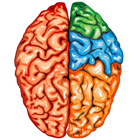 Human brain top view Vector